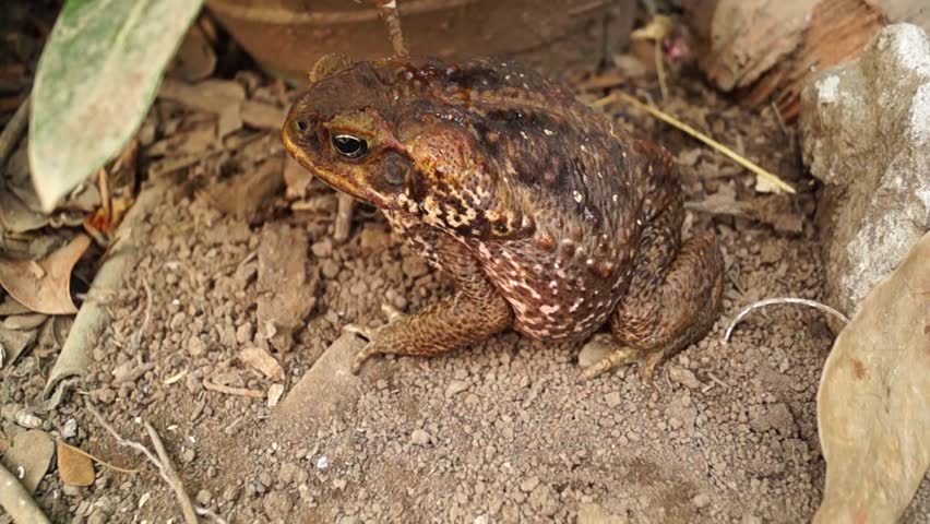 poisonous brown toad on dry soil