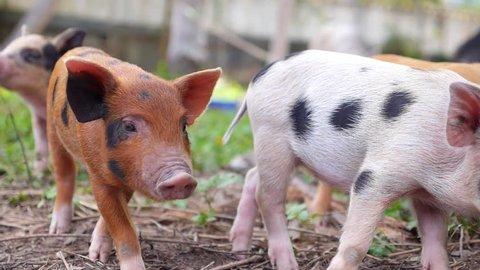 Cute Baby Pig Feeding Outdoors.  HD, 1920x1080.