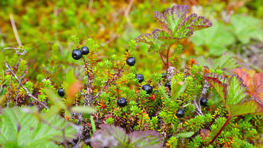 Header of crowberry