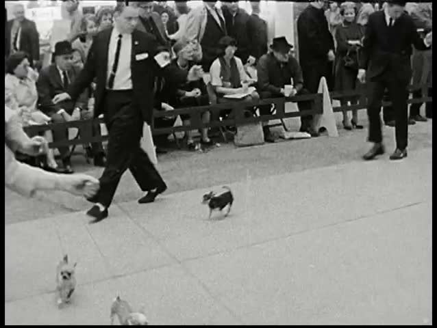 CIRCA 1960s - Small breed category dogs are displayed on the runway. Audience applauses.