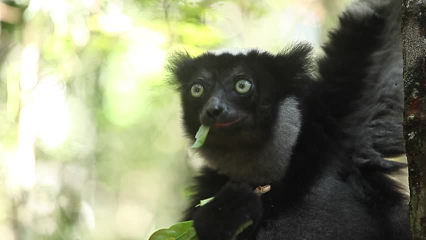 Indri lemur eats green leaves being on the tree in the forest