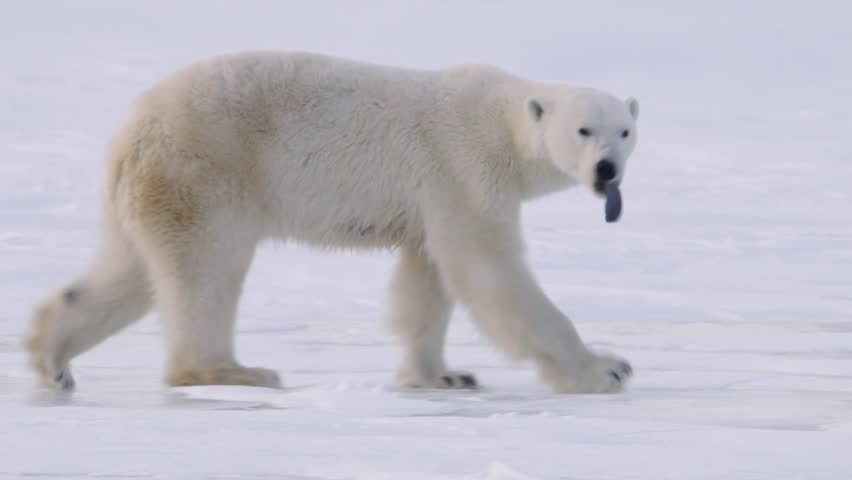 Polar Bear Walking Through The Arctic v.1-2
