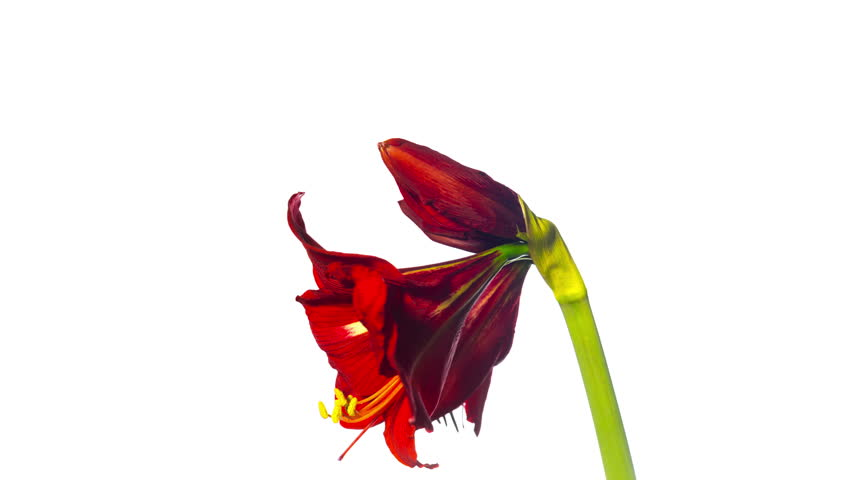 Header of Amaryllis