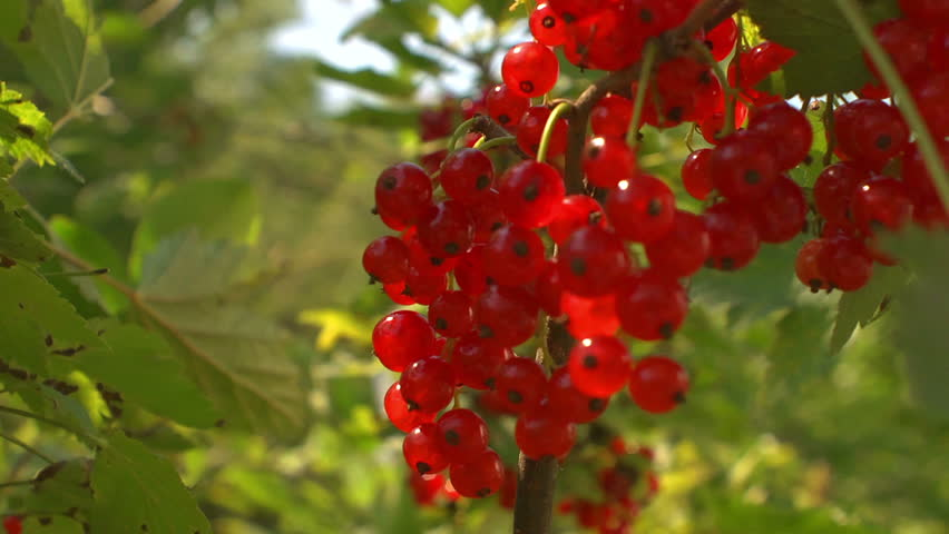 Header of redcurrant