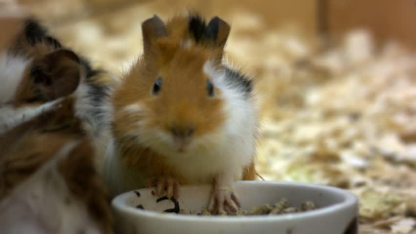 guinea pig chew food
