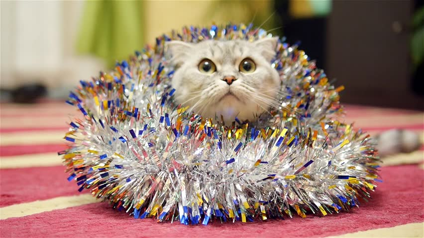 Christmas tinsel and scottish fold cat 2 | Shutterstock HD Video #13598168