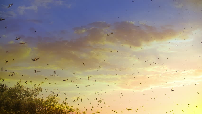 Huge Flock of Birds Flying at Sunset in Slow Motion