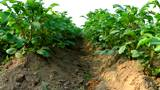 Potato bushes, soon harvesting