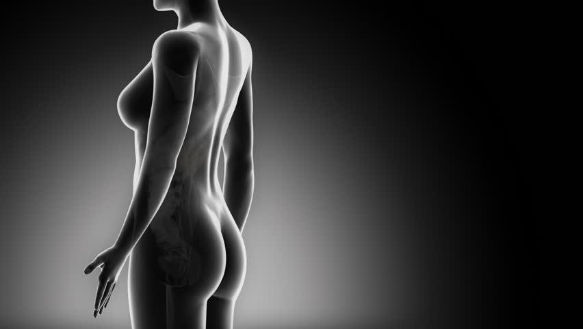 Female UROGENITAL ORGANS anatomy in detail x-ray loop