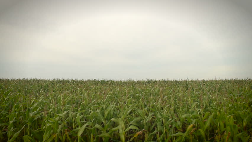 Corn crops moving in the wind. | Shutterstock HD Video #1372867