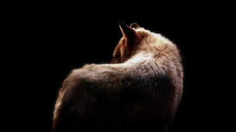 Wolf In Dramatic Lighting On Black Background