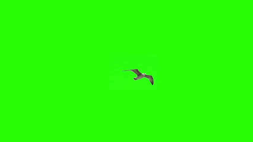 Lonely Bird On Chroma Key #13766840