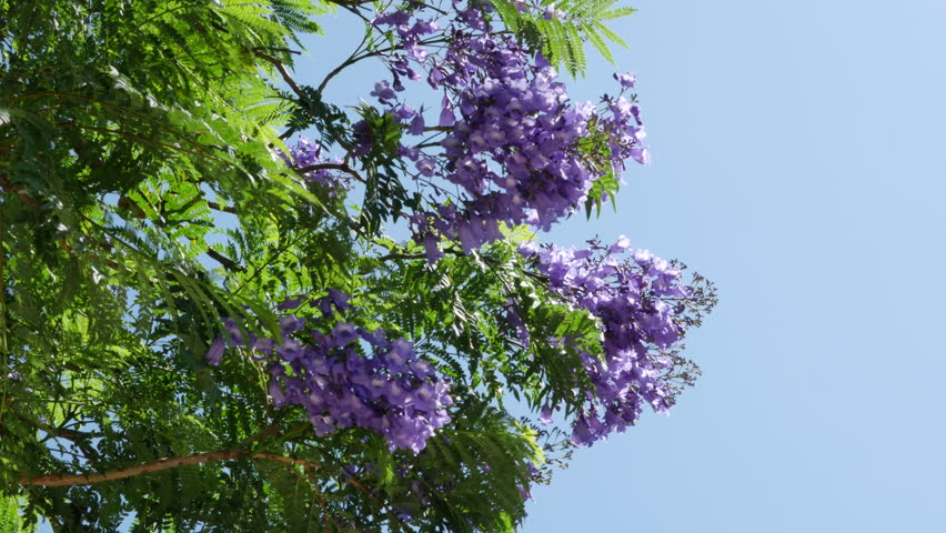 Jacaranda Trees With Their Vivid Blue Blossoms Grow In Mediterranean