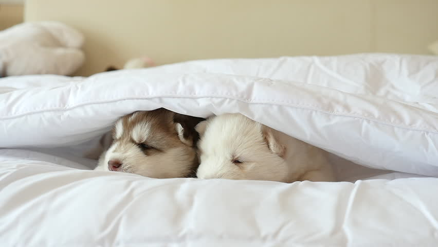 Two Siberian Husky Puppies Sleeping On White Bed Under