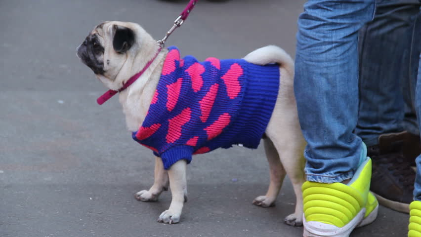 Funny pug dogs, pets in glamorous outfit walking on leash, pedigree animal show