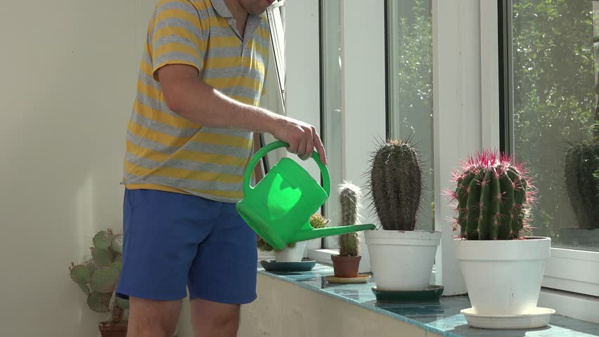 Gardener Florist Man In Shorts Watering Cactus Plants With Green  Watering Can In Greenhouse Conservatory. Static Closeup Shot.