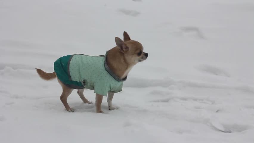 Resultado de imagen para chihuahua snow