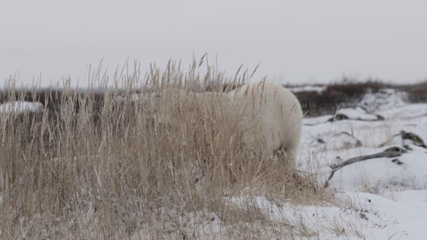 Polar bear behind bush  Polar bear stand behind bush on the snow