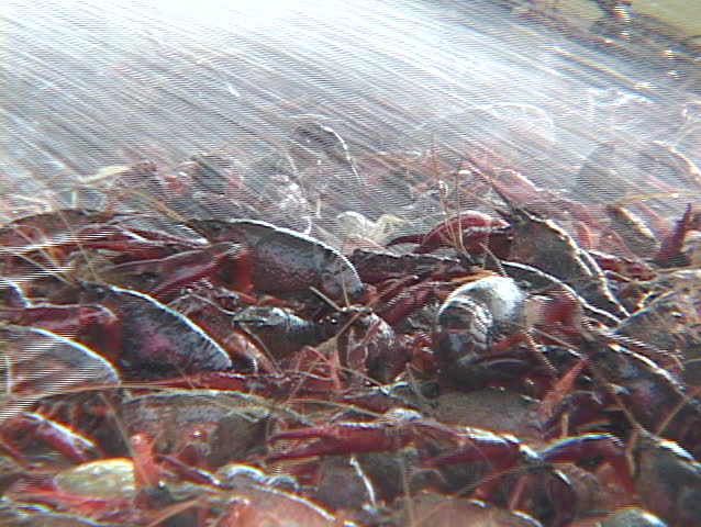 Water washes off a crayfish catch.