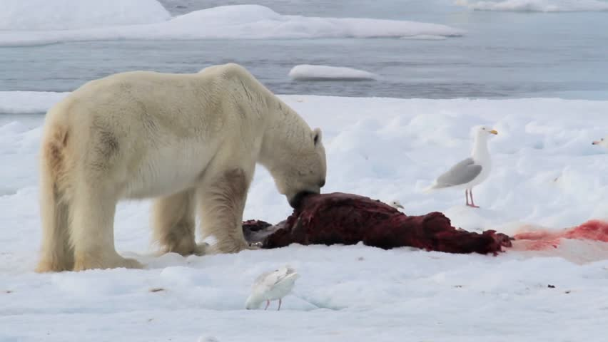 predator prey relationship polar bear and seal Which of the following describes a relationship of which of the following describes a relationship of predator-prey a a polar bear catches a seal for.