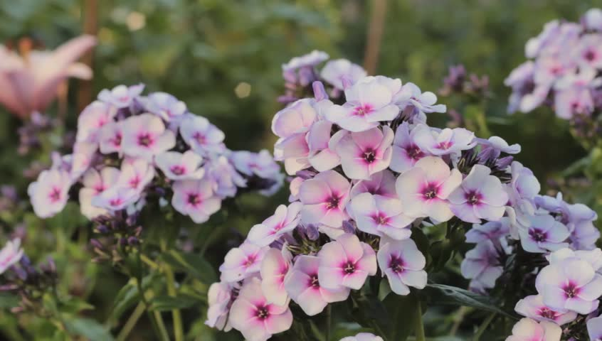 Small White Flowers Pink Stock Footage Video 100 Royalty Free
