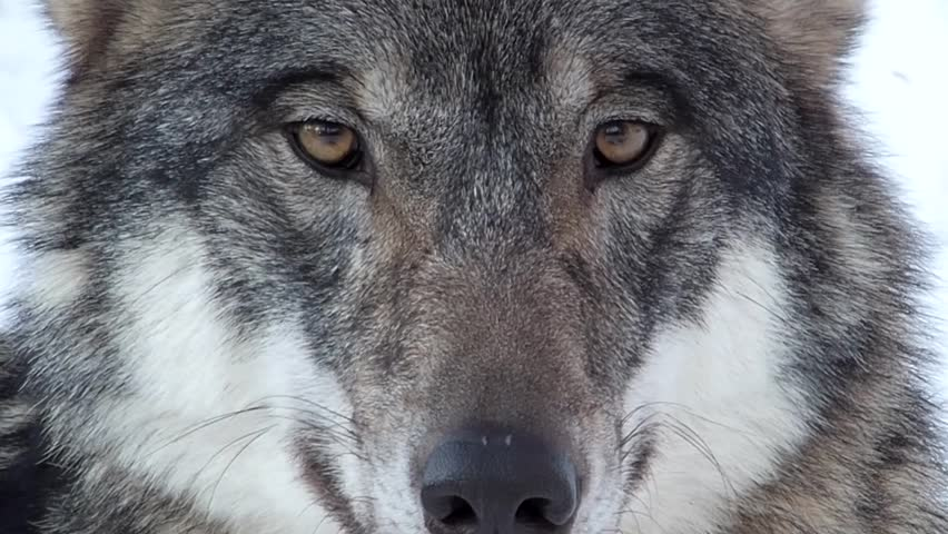gray wolf face staring into camera