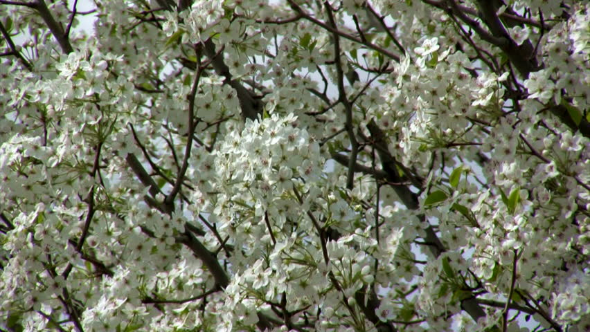 May tree in spring blossom with lots of flowers stock footage video tree branches filled with little white flowers in a breeze hd stock video clip mightylinksfo Choice Image