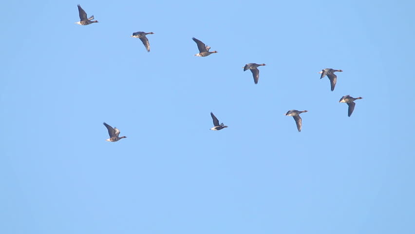 Flock of Birds Geese flying in formation, Blue sky background.