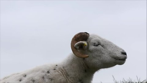 Wiltshire horn sheep chewing the cud.  A ram chews the cud against a grey sky, with burrs from burdock visible in his coat.  The curved horn of this rare breed is visible.