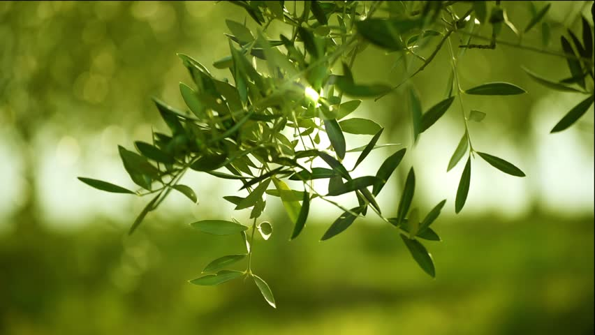 Olive Green Tree Leaves Growing Stock Footage Video 100 Royalty