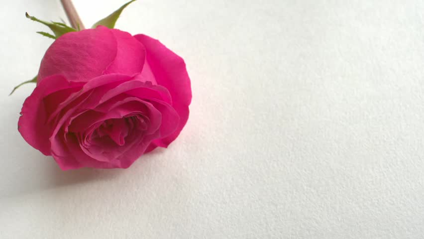 valentine's day rose petals falling. white background. 4k stock, Ideas