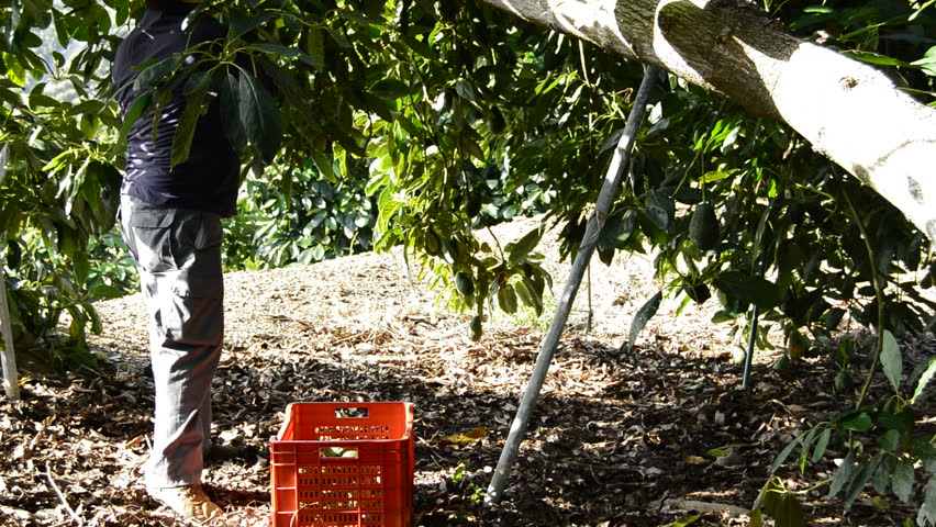 Avocados hass fruit harvest