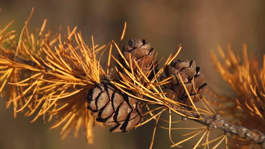 Larch branch with cones | Shutterstock HD Video #14339290