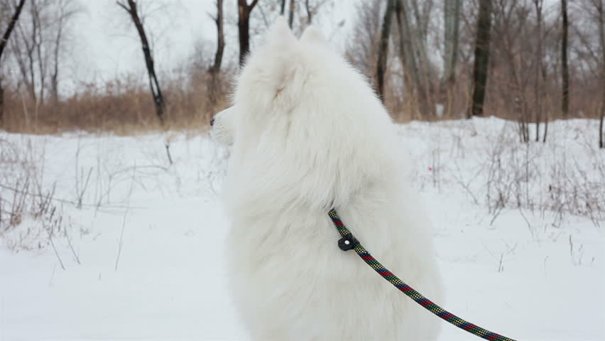 Close-up portrait Spectacular Slow Motion Close-Up Of White Dog And The Falling Snow. in the park, the Samoyed breed | Shutterstock HD Video #14391010
