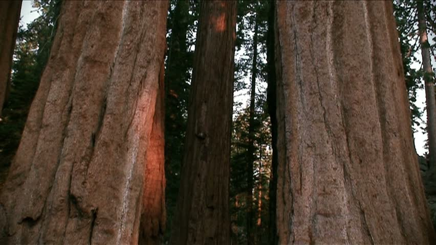 Tilt-up from base of redwoods to treetops