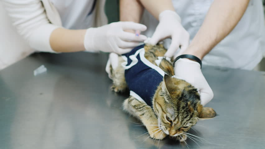 Veterinarian makes injection cat | Shutterstock HD Video #14537458