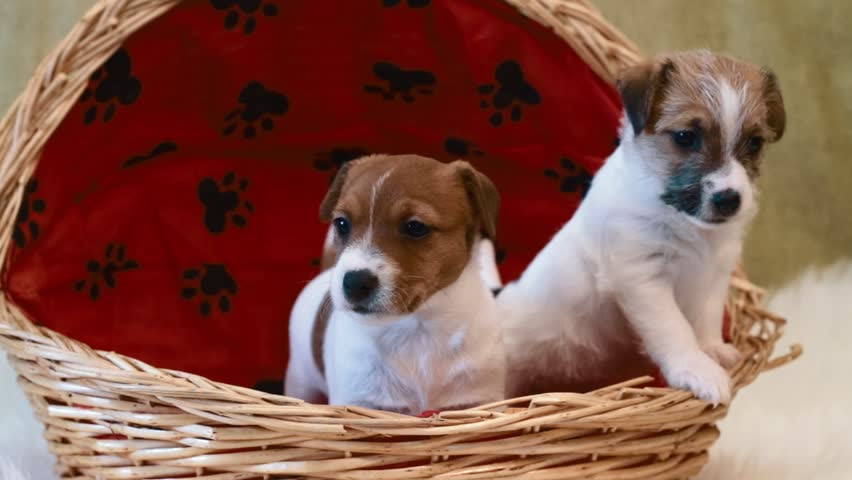 Two puppy jack russell terrier #14541187