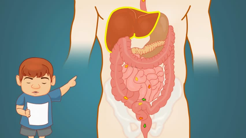 Digestive System Anatomy Study Vector Stock Footage Video 100