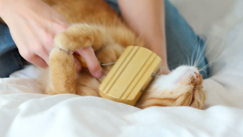 The Woman Combs A Dozing Cat's Fur. Ginger Cat Lies On White Blanket | Shutterstock HD Video #14626120