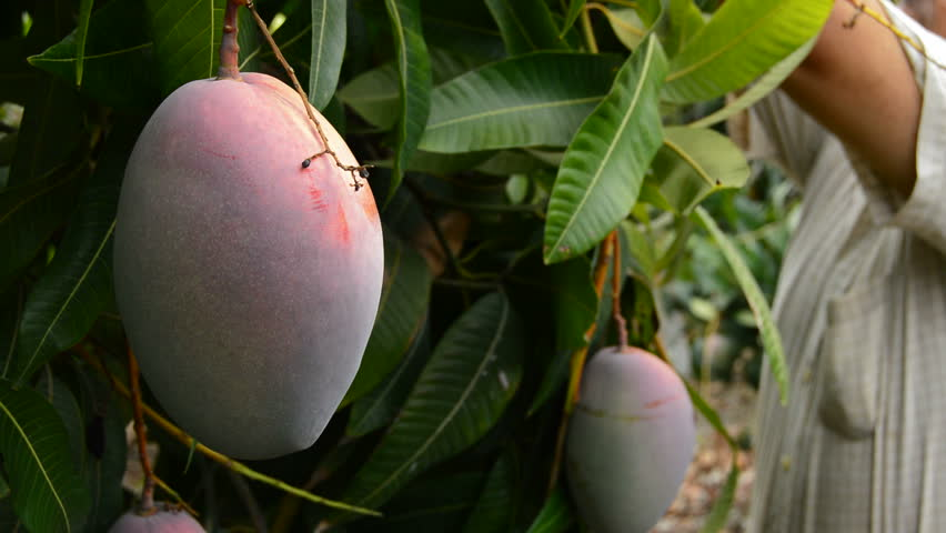Harvest of mango tropical fruit in a plantationt with a pole