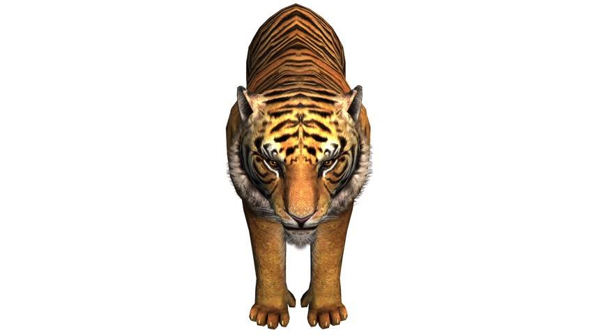 Tiger open mouth roar,wildlife animals habitat.stripes pattern. cg_02053