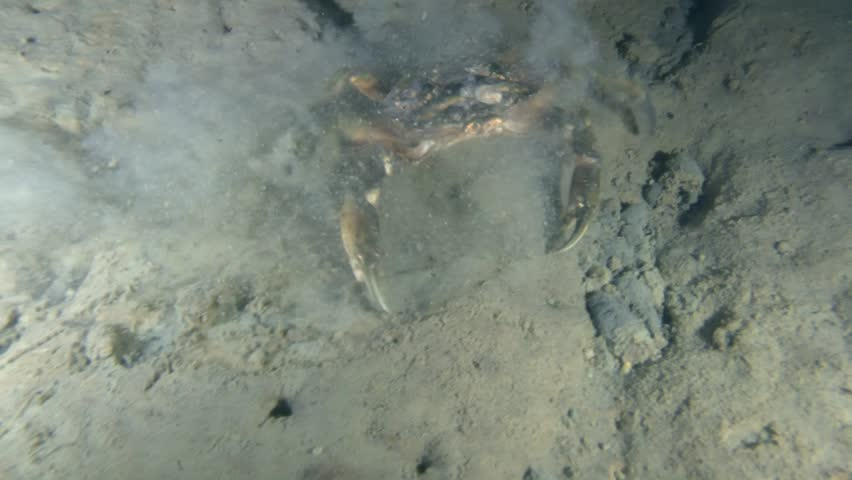 Green crab crawling on the muddy ground, front view.  | Shutterstock HD Video #14847250