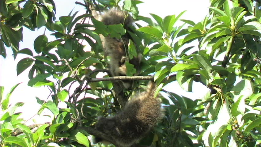 Baby Raccoon in Tree (WS)