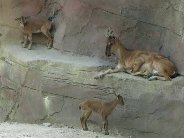 Female Markhor with Twins