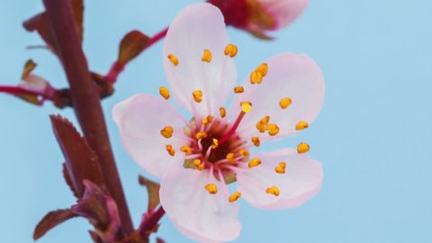 Wild Plum Flower growing and blossoming macro timelapse Zoom out and Pan from buds to whole flower tree/Zoom out and pan time lapse of a wild plum flower tree blossoming against a blue background.