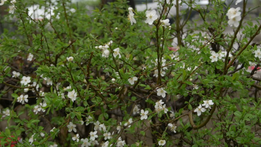 Stock video of hedge with white flowers in foreground, | 15149710 ...