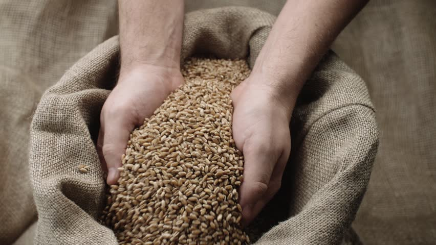 human hand touching selected grain Golden wheat in jute sack, quality new crop, slow motion