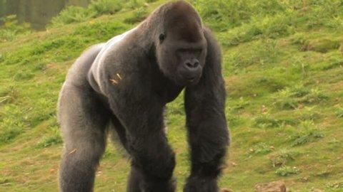 AMBAM Huge Gorilla gorilla Forages for Food. Big Lowland Silverback Gorilla Forages for nuts.