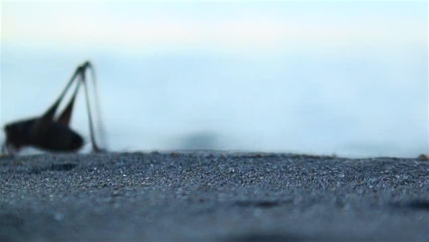 Giant grasshopper are on the seashore at sunrise | Shutterstock HD Video #15283960