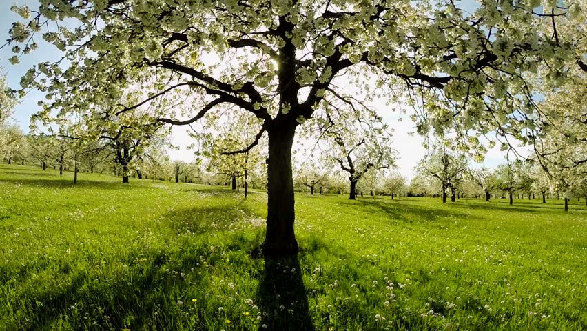 UHD Video - A Large Oak Tree. Vertical Panning Stock Footage Video ...
